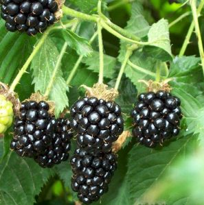 Fruit of the Week; The Blackberry
